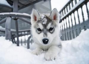 Щенок лайки в снегу